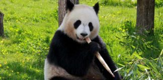 Animals like Panda are in Endangered
