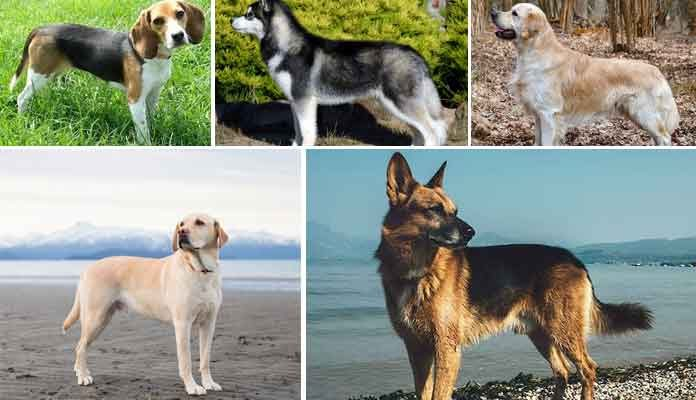 Top 10 Best Dog Breeds List