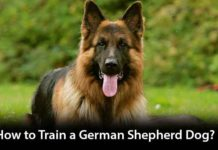 How to Train a German Shepherd Dog?