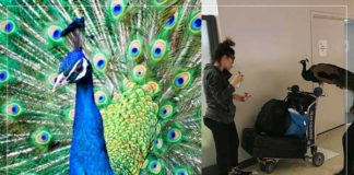 Emotional Support Peacock