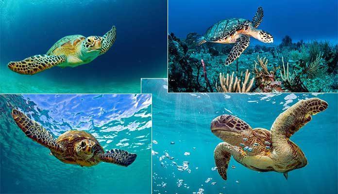 Sea Turtle Facts