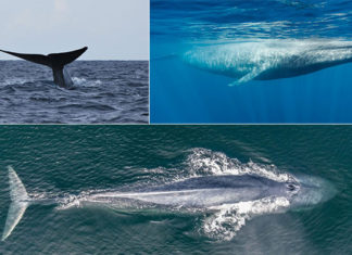 Blue whale as largest animal