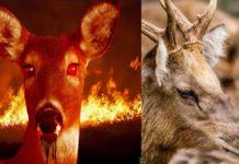Zombie Deer CWD
